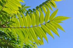 Aylantus large deciduous tree Stock Images