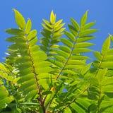Aylantus large deciduous tree Stock Photos