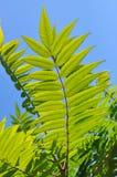 Aylantus large deciduous tree Royalty Free Stock Image