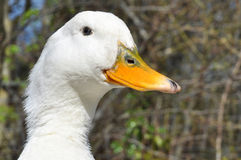 Aylesbury Duck Royalty Free Stock Images