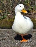 Aylesbury Duck Stock Photography