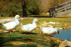 Aylesbury ducks walk to pond Royalty Free Stock Images