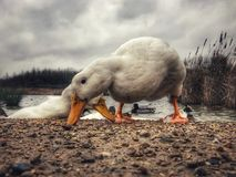 Heavy white Pekin Duck foraging for food stock images