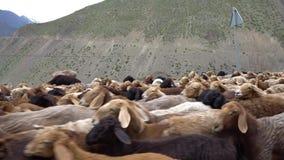 Ayni Anzob Pass Sheep Herd  stock video