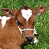 Ayrshire Calf Royalty Free Stock Image