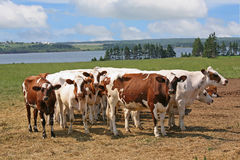 Ayrshire Cattle stock photos