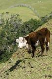 Ayrshire cattle Royalty Free Stock Image