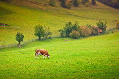 Ayrshire Cow. In a pasture in Valle Aurina, Brunico, Trentino Alto Adige, Italy stock photography