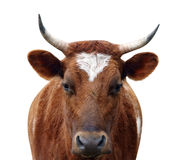 Ayrshire Cow with Horns Stock Photo