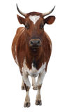Ayrshire Cow with Horns Royalty Free Stock Photo