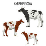 Ayrshire cows isolated on white. Vector illustration of dairy cattle Royalty Free Stock Photos