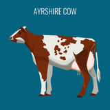 Ayrshire cows isolated on white. Vector illustration of dairy cattle Stock Photo