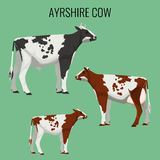 Ayrshire cows  on white. Vector illustration of dairy cattle. Ayrshire cows  on background. Vector illustration of realistic ayrshire dairy cattle with red Royalty Free Stock Image