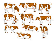 Ayrshire red and white patched coat breed cattles set. Stock Images