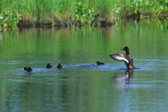 Aythya fuligula 与鸭子巢的装缨球鸭子在summ的 图库摄影