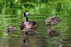 Aythya fuligula. A duck with ducklings in the Western Siberia Stock Photography