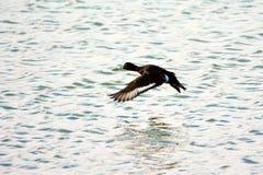 Aythya fuligula duck Stock Image