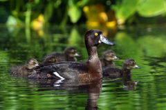 Aythya fuligula. A female tufted duck with ducklings Royalty Free Stock Photos