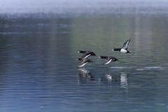Aythya fuligula, tufted duck Royalty Free Stock Images