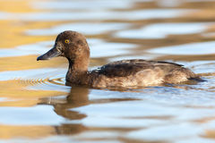 Aythya fuligula, Tufted Duck. Stock Photography