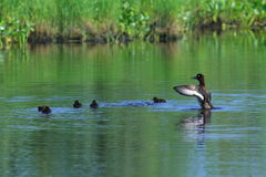 Aythya fuligula. Tufted duck with a brood of ducklings on a summ. Er day on the Yamal Peninsula Stock Photography