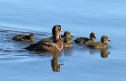 Aythya fuligula. Tufted duck with ducklings at evening light in Royalty Free Stock Photography
