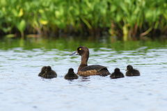 Aythya fuligula. Tufted duck with ducklings in the summer on Yam Stock Photography