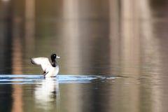 Aythya fuligula, Tufted Duck. Stock Photo