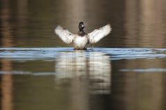 Aythya fuligula, Tufted Duck. Royalty Free Stock Image
