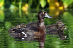 Aythya fuligula. Wild duck with ducklings close up Royalty Free Stock Photography