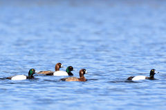 Aythya marila, Greater Scaup. Royalty Free Stock Photography