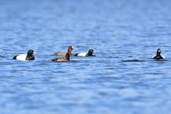Aythya marila, Greater Scaup. Royalty Free Stock Images