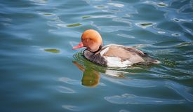 Aythyini sea duck swims in the pond Royalty Free Stock Photography