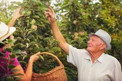 Ayuda de la mujer joven un viejo hombre en la huerta, escoger manzanas Fotos de archivo libres de regalías