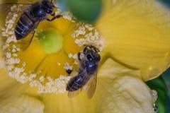 Ayuda de las abejas Fotos de archivo libres de regalías
