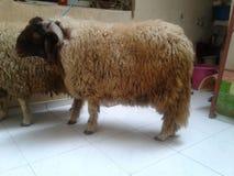 Ayuda de las ovejas del Mouton Imagen de archivo libre de regalías