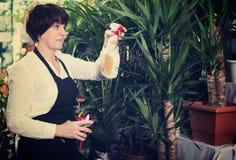 Ayudante de tienda que muestra árboles de la yuca Imagen de archivo