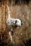 Ayudas del perro en la caza del pájaro Fotografía de archivo