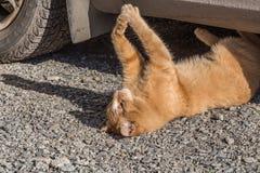Ayude y ahorre al gato rojo brillante hermoso con los ojos amarillos y la nariz rosada que está en el camino gris con las piedras foto de archivo