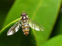Ayuna la mosca fotografía de archivo libre de regalías