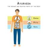 Ayurveda-Vektorillustration Die doshas und die in Verbindung stehenden Körperteile Stockbilder