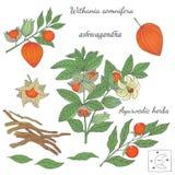 ayurvedic植物ashwagandha的传染媒介手拉的例证 库存照片