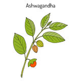Ayurvedic Herb Withania somnifera, known as ashwagandha, Indian ginseng, poison gooseberry, or winter cherry Royalty Free Stock Image