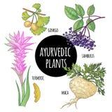 Ayurvedic herbs. Ginkgo biloba, sambucus, turmeric, maca. Illustration set of vector Ayurvedic herbs and plants. Ginkgo biloba, sambucus, turmeric, maca isolated Stock Photo