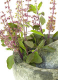 Ayurvedic Hilfsmittel-heiliger Basilikum Stockbild