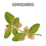 Ayurvedic Kraut Ashwagandha lokalisiert auf Weiß Withania-somnifera lizenzfreie abbildung
