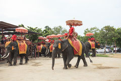 AYUTHAYA THAILAND-SEPTEMBER 6 : elephant for tourist riding read Royalty Free Stock Photo