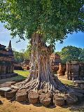 Ayutthaya, αρχαίες καταστροφές, αρχαίο παλαιό κεφάλαιο δέντρων, Μπανγκόκ, Tha Στοκ Εικόνες