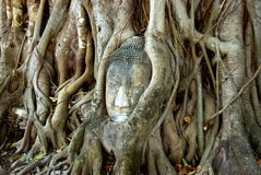 Ayutthaya, Tailandia: Buddha nelle radici dell'albero Immagine Stock Libera da Diritti