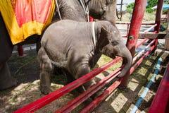 Ayutthaya Tajlandia, Październik, -, 21, 2016: Tajlandzki macierzysty słoń f Obraz Royalty Free